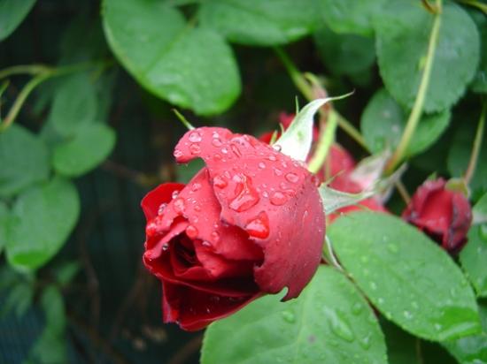 rosesfrance10304738021070388.jpg